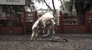 Bull bucking over a fallen bullrider
